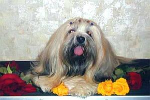 Lhasa Apso  mother Virginia