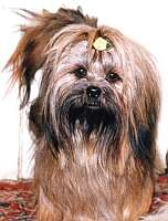 Lhasa Apso mother Zlata