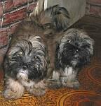 Lhasa Apso puppys Enlarge