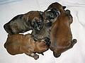 Lhasa Apso Puppys